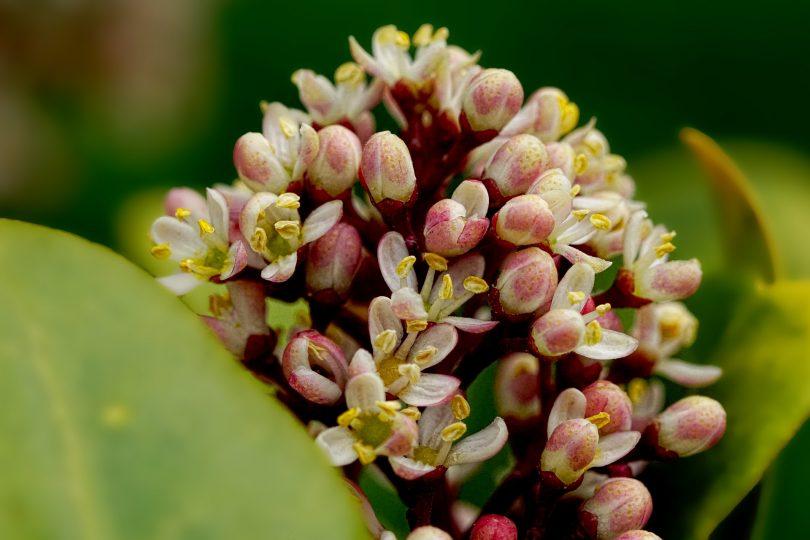 Flores de Laurel